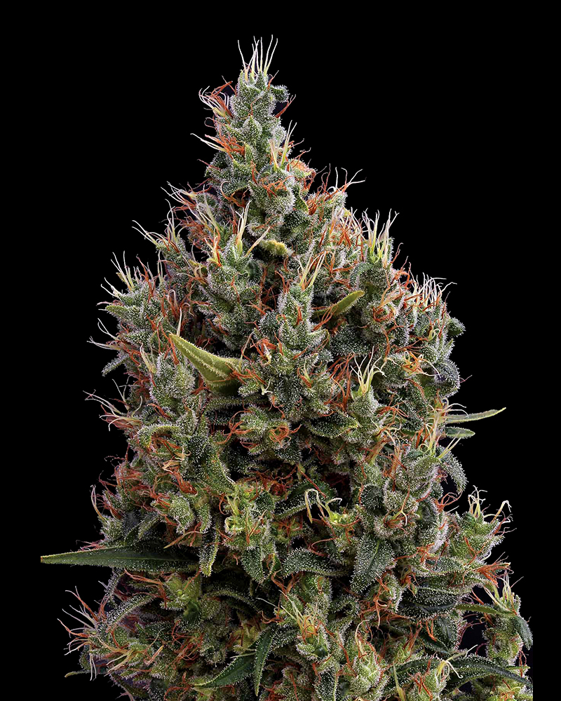 Big Bang Auto Feminised Seeds