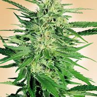 Big Bud Regular Seeds