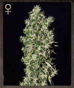 Big Tooth Feminised Seeds