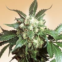 Black Domina Regular Seeds
