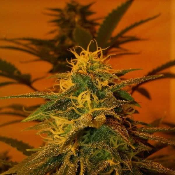 Black Jack Feminised Seeds - 5