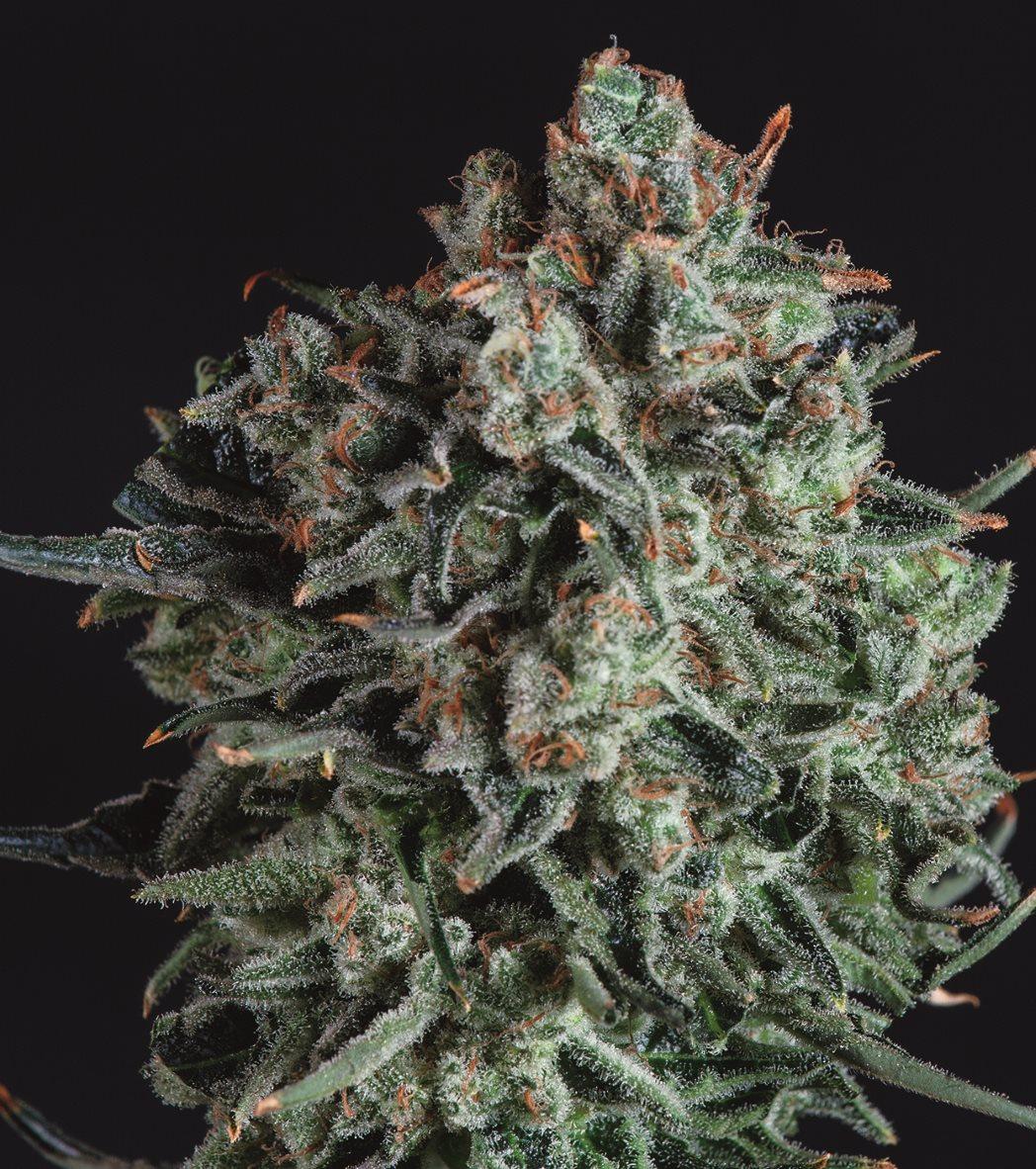 Blue Cheese x SCBDX Feminised Seeds