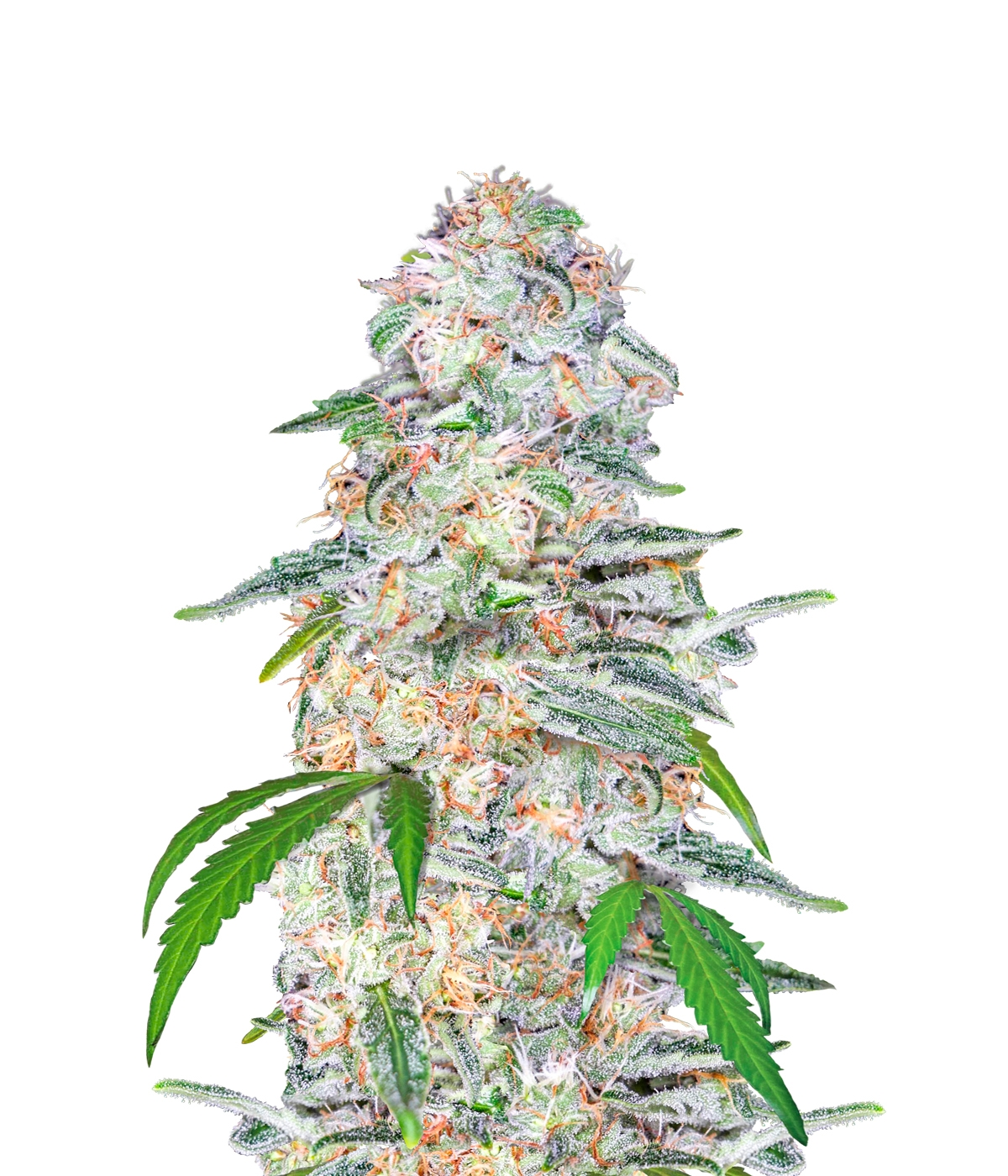 Blue Dream Auto Feminised Seeds