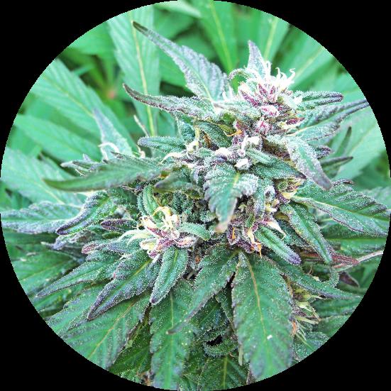 Blueberry Crystal Regular Seeds - 10