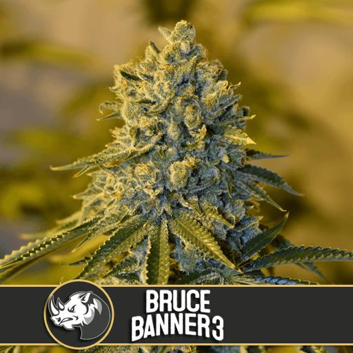 Bruce Banner #3 Feminised Seeds