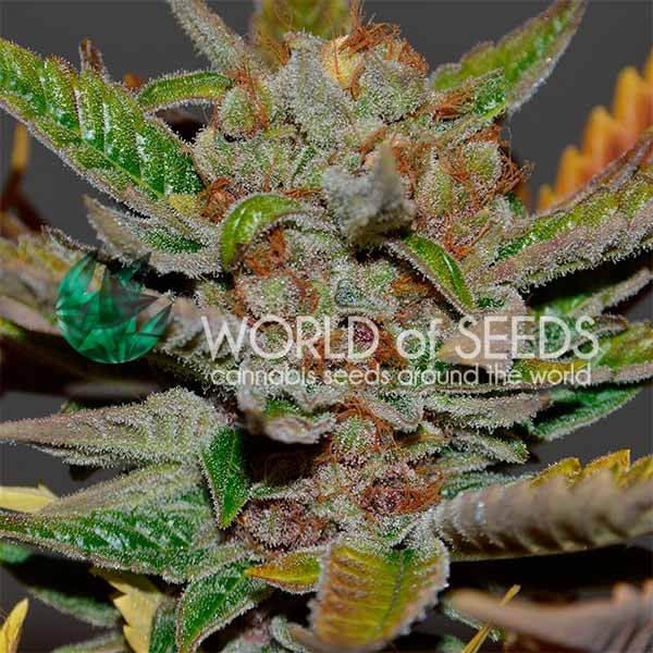 Bubba Haze Regular Seeds - 10