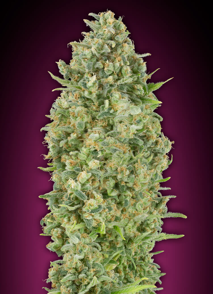 Bubble Gum Auto Feminised Seeds
