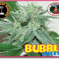 Bubble Cheese Feminised Seeds