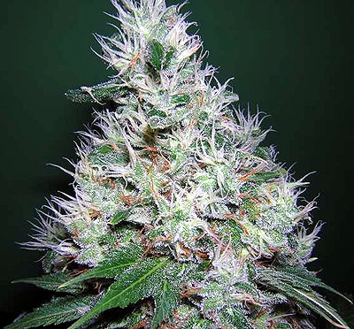 Bubble Gum Feminised Seeds - 6