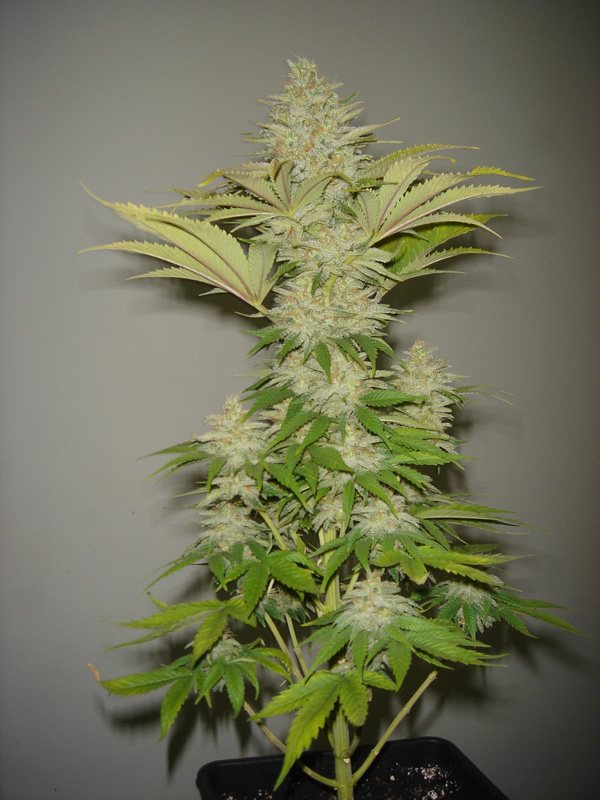 Bubblicious Feminised Seeds