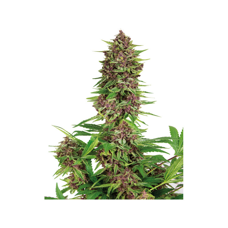 Purple Kush Feminised Seeds