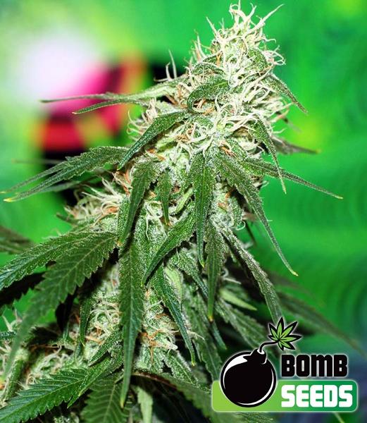 Buzz Bomb Regular Seeds - 10
