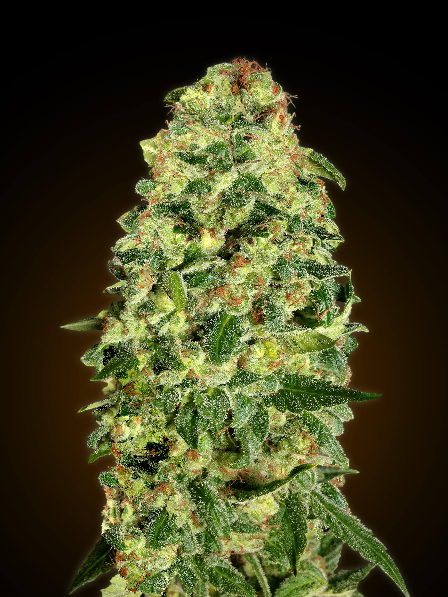 California Kush Auto Feminised Seeds