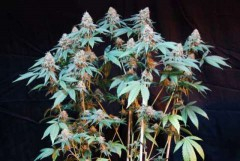Cannalope Kush Feminised Seeds
