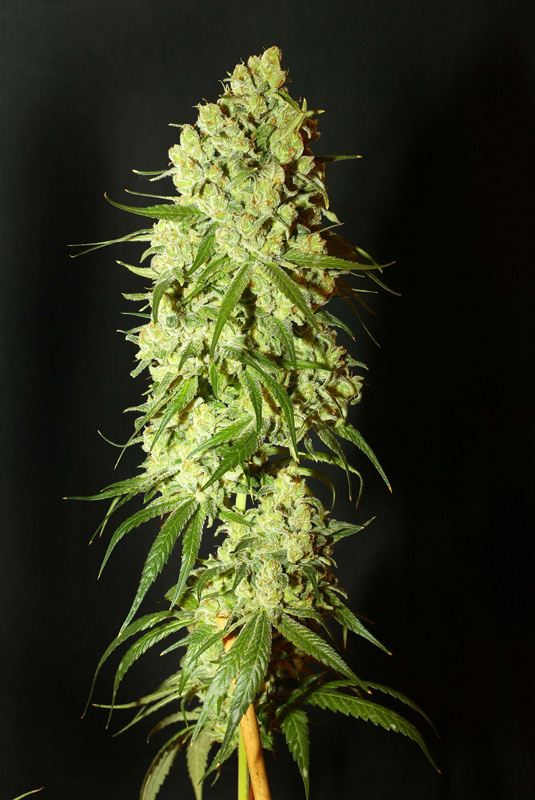Cannatonic Feminised Seeds