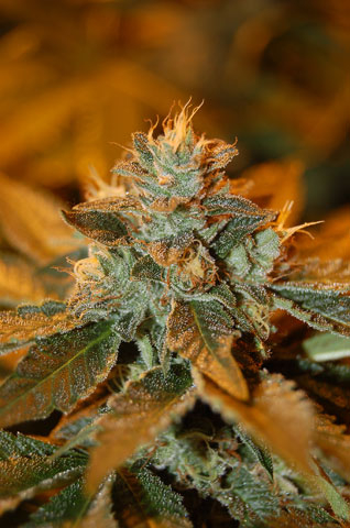 Cataract Kush Feminised Seeds