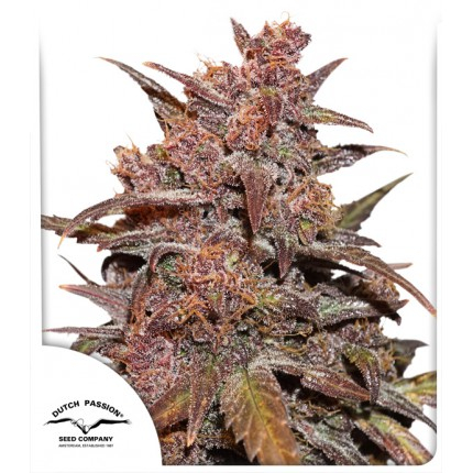Blackberry Kush CBD Auto Feminised Seeds