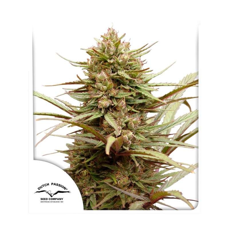 ComPassion CBD Feminised Seeds