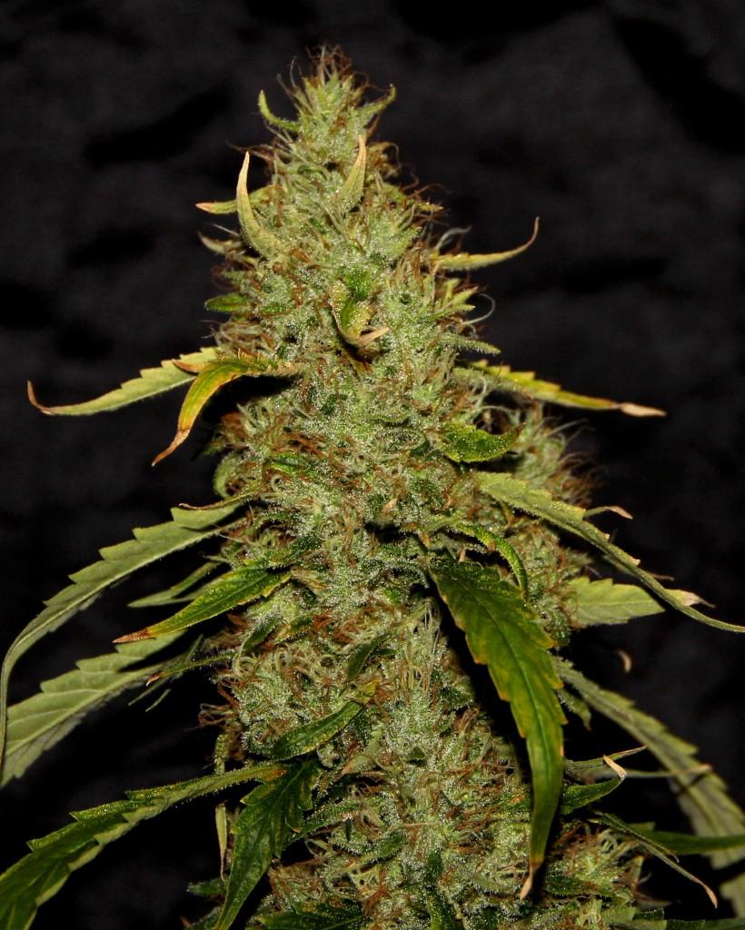 PH CBD Regular Seeds - 5