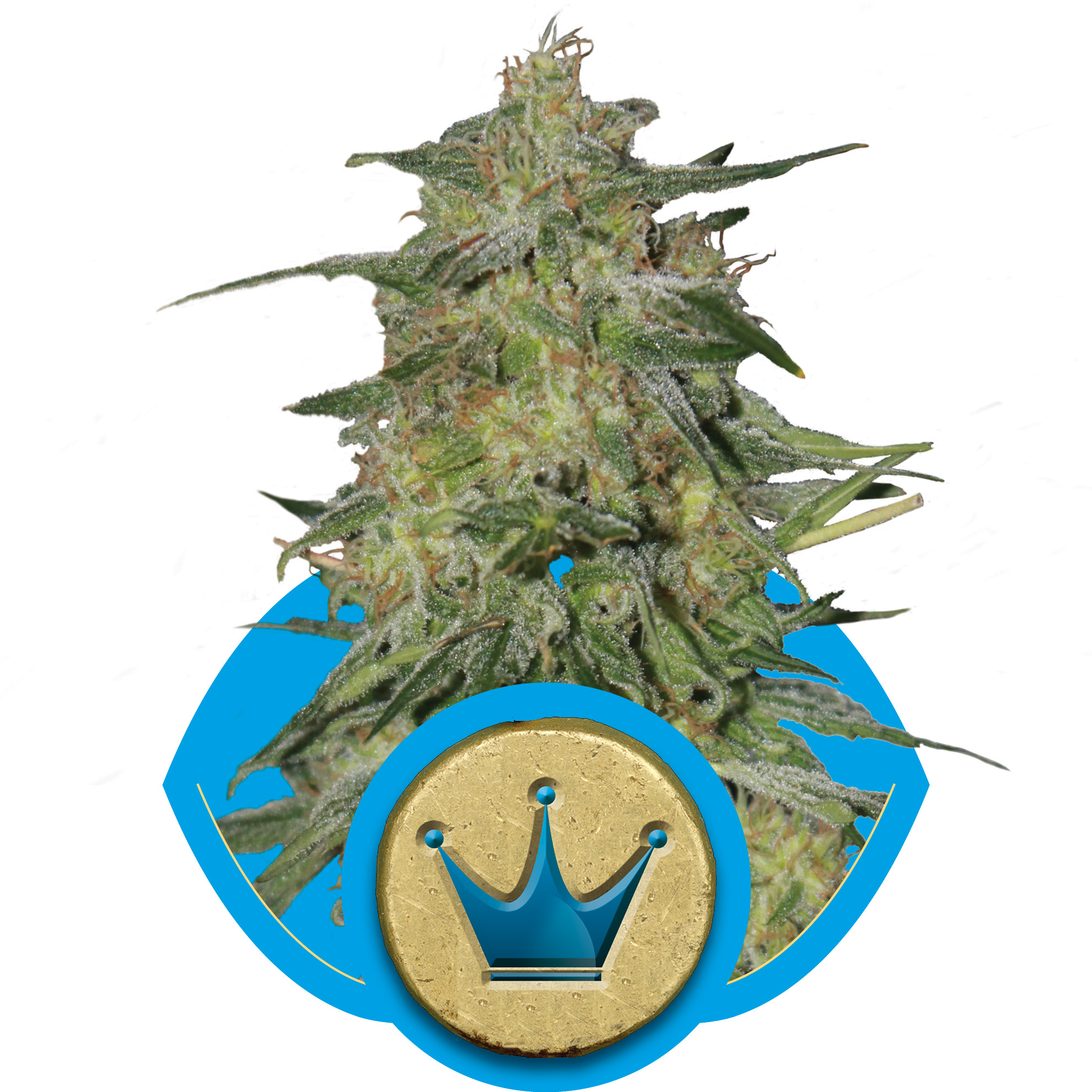 Royal Highness Feminised Seeds
