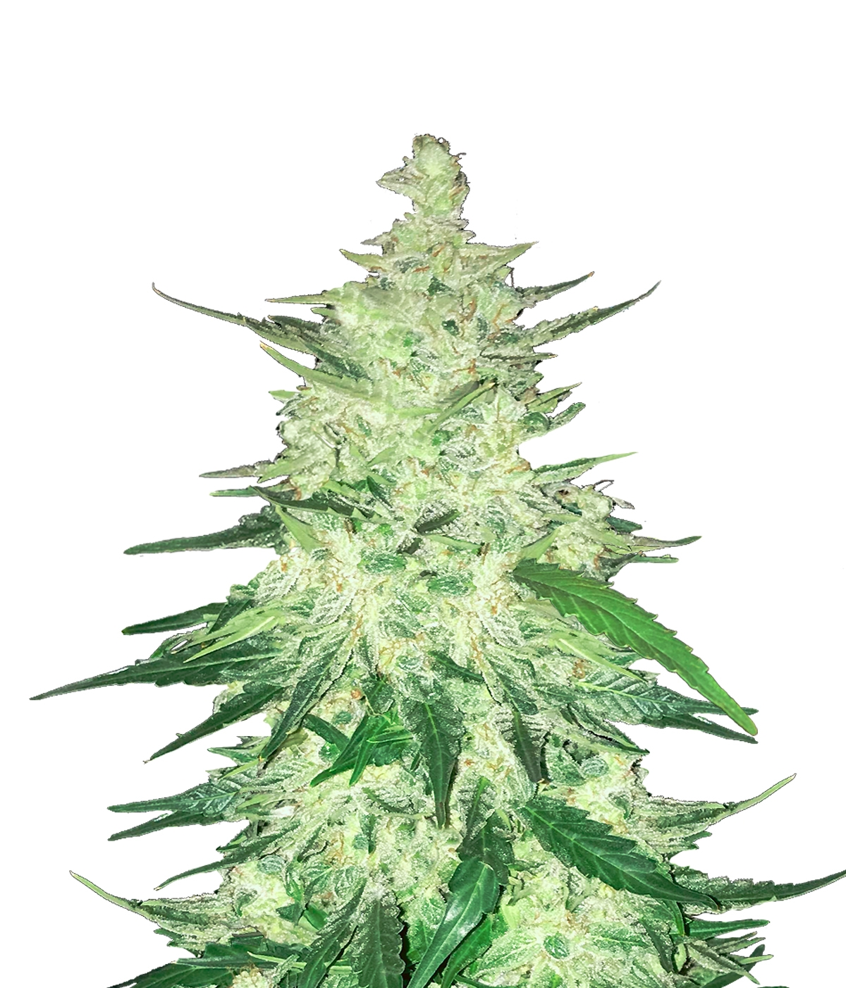 CBD 1:1  Auto Feminised Seeds (formerly Crack CBD Auto)