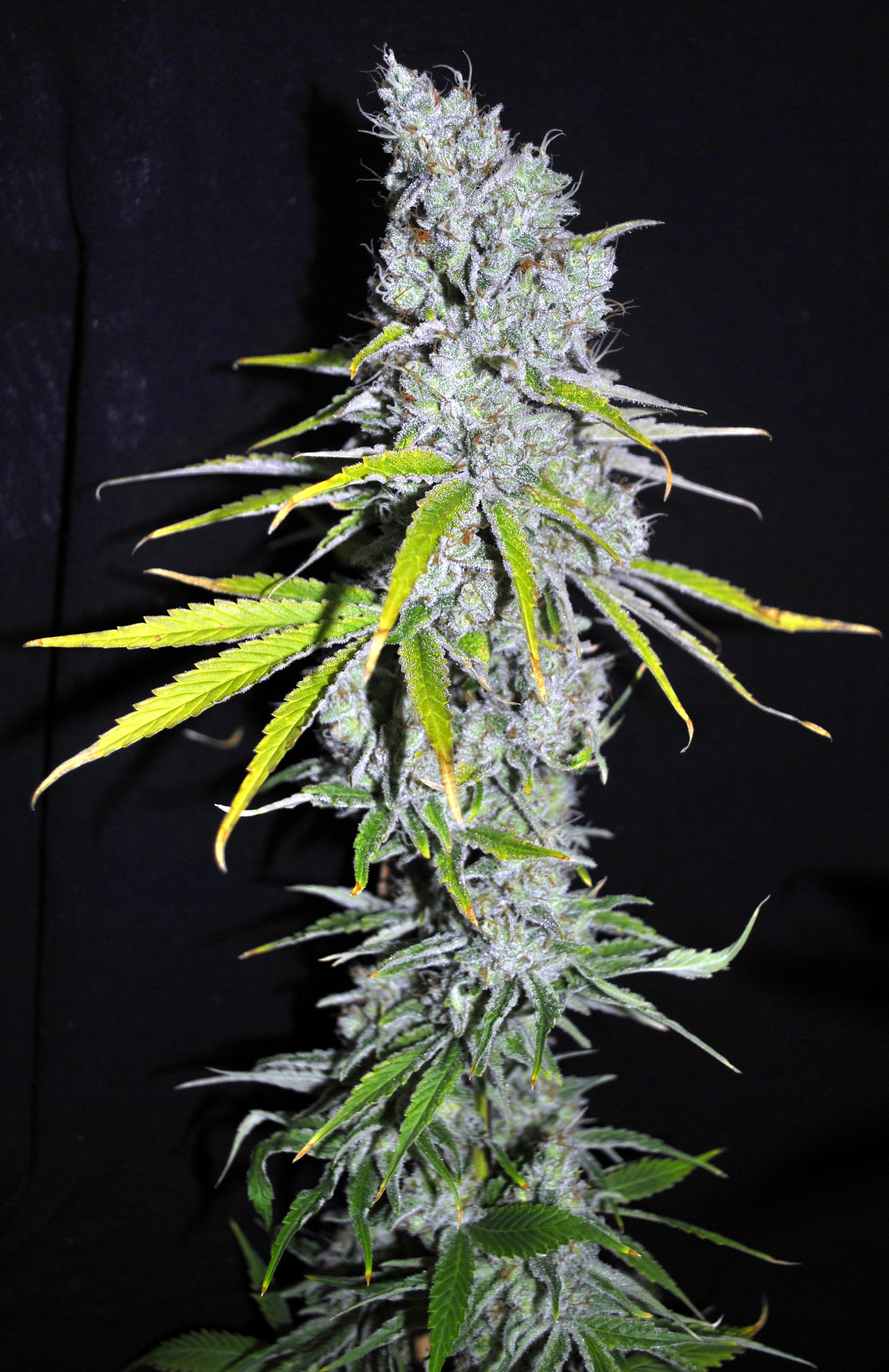 Skunk Haze CBD Feminised Seeds - 5