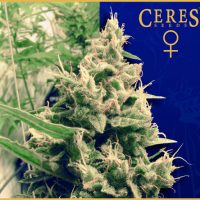 Hollands Hope Feminised Seeds
