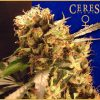 Orange Bud Feminised Seeds