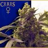 Purple Feminised Seeds
