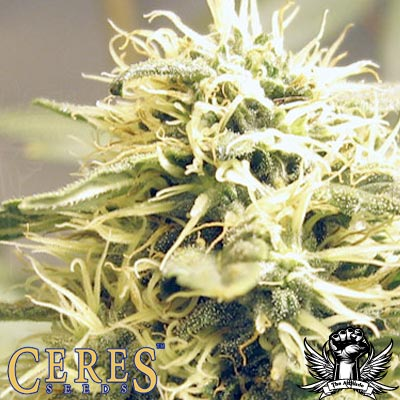 Ceres Kush Feminised Seeds