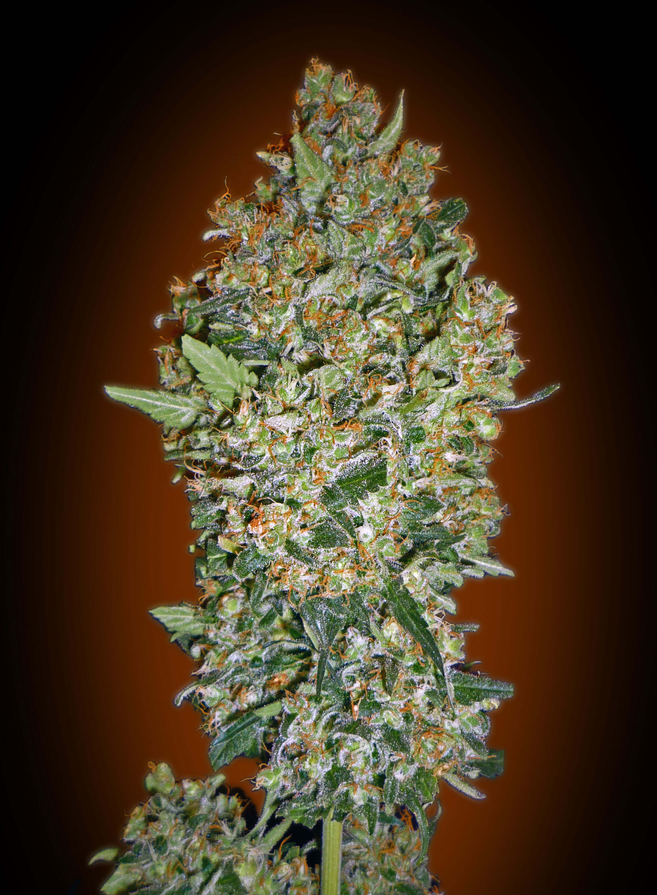 Cheese Berry Feminised Seeds