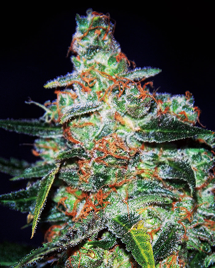 Cheese Auto Feminised Seeds (formerly Funky Skunk Auto)