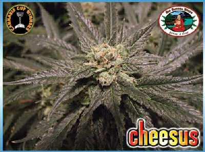Cheesus Feminised Seeds