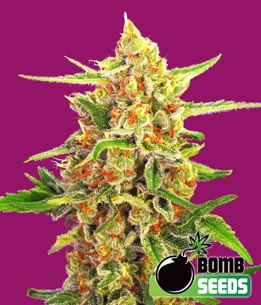 Cherry Bomb Feminised Seeds