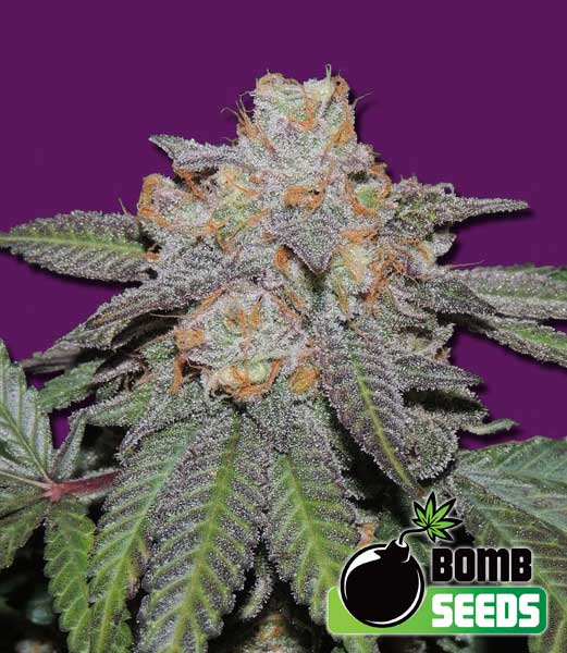 Cherry Bomb Auto Feminised Seeds