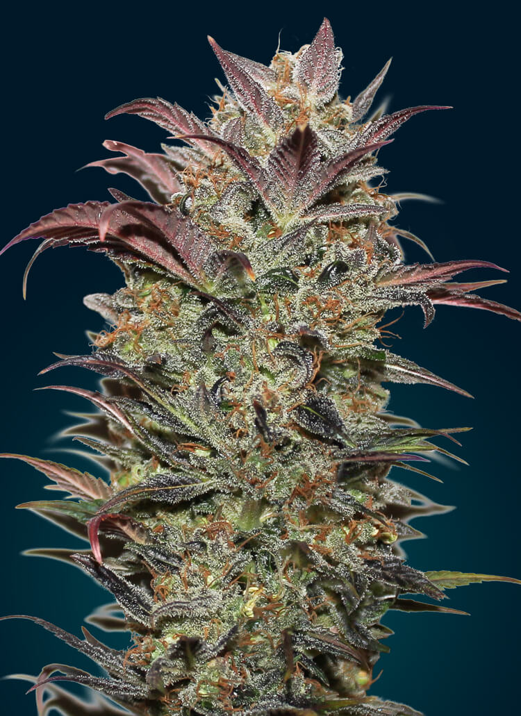 Chocolate Cream Auto Feminised Seeds