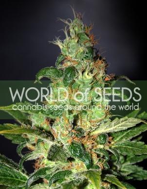 Chronic Haze Feminised Seeds