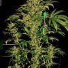 Chronic Feminised Seeds (SERIOUS)