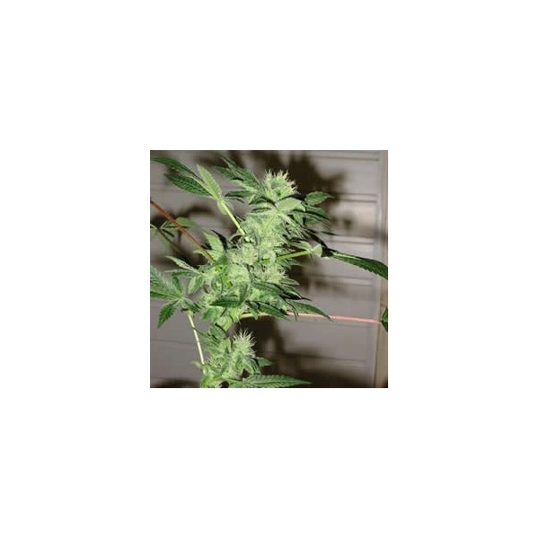 Chrystal Feminised Seeds - 5