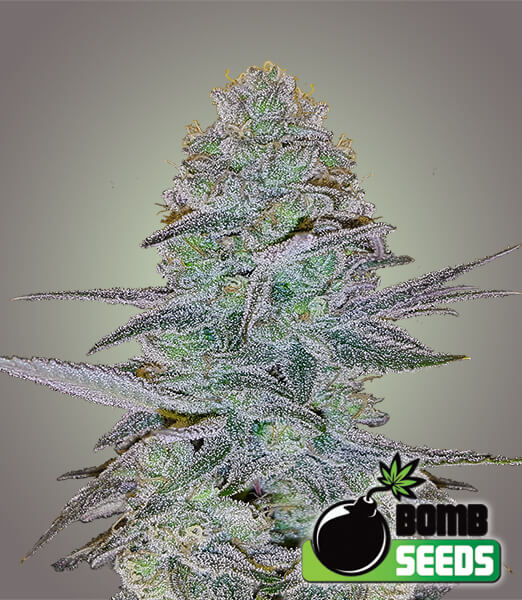 Cosmic Bomb Auto Feminised Seeds