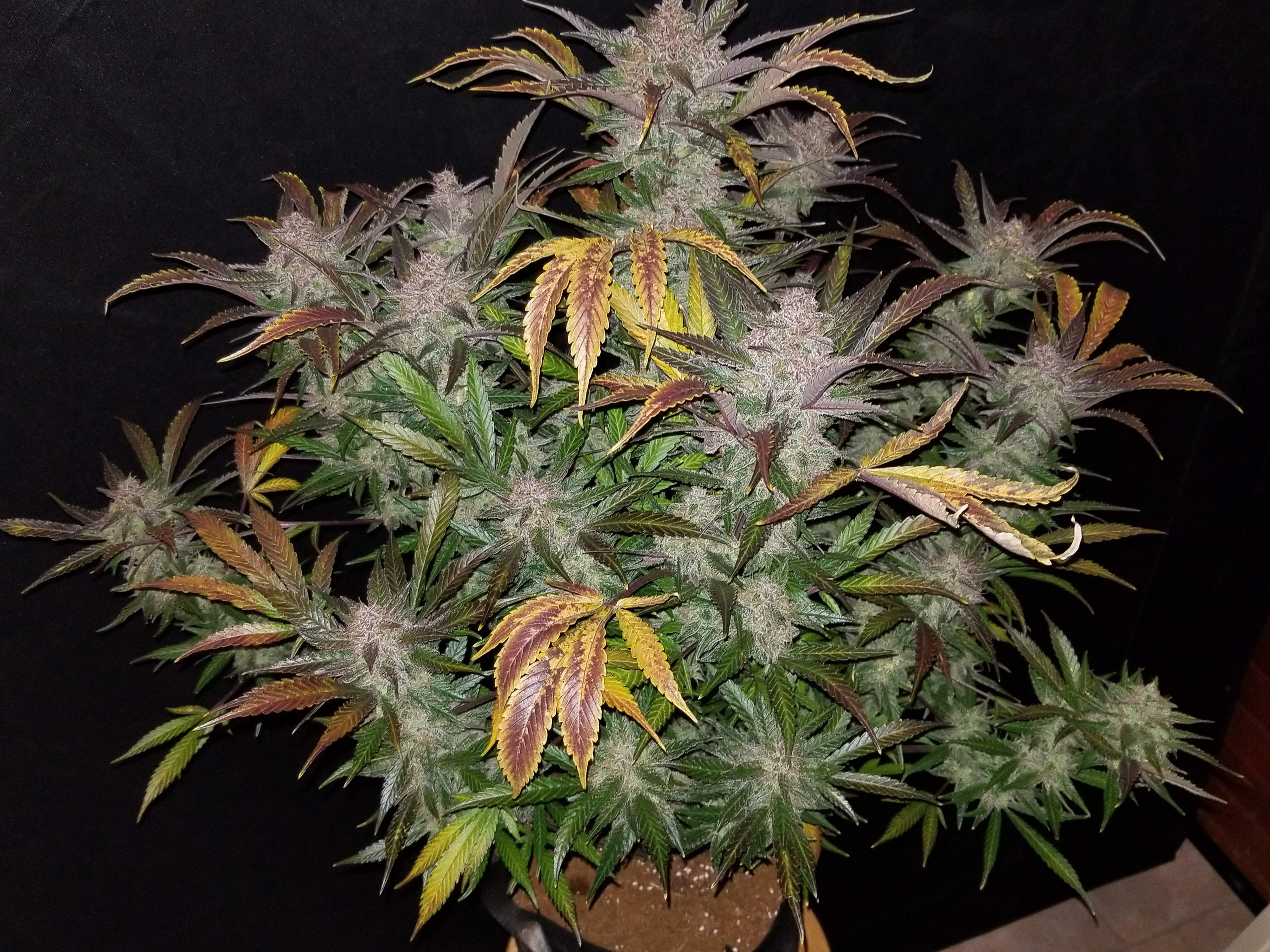 Cream Cookies Auto Feminised Seeds