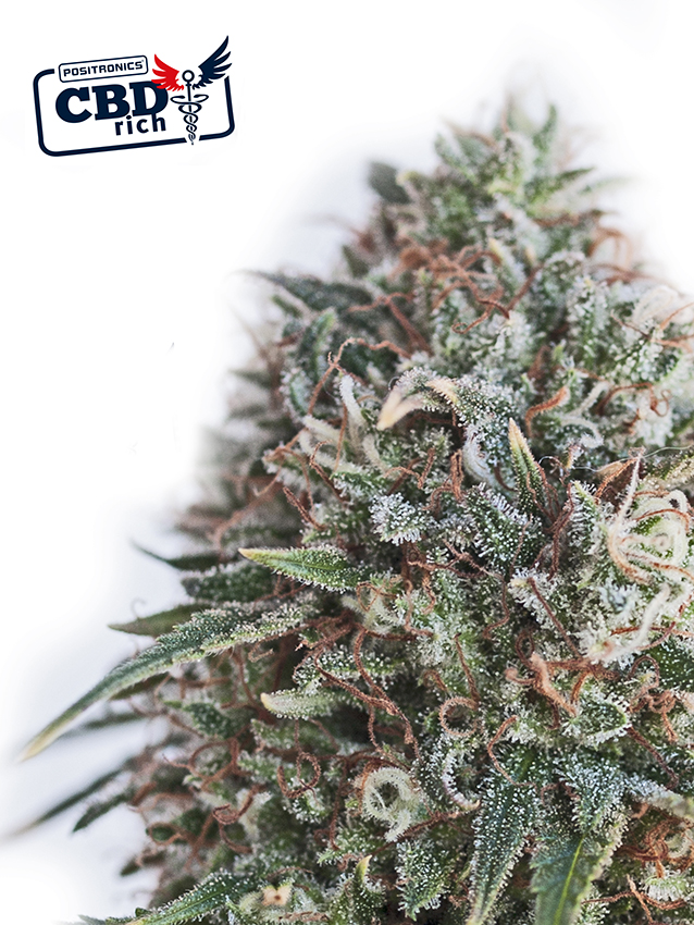 Critical 47 CBD Feminised Seeds