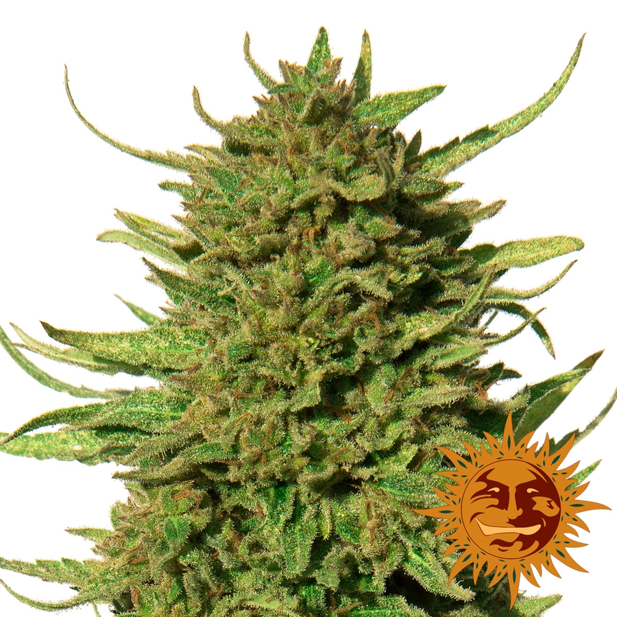 Critical Kush Regular Seeds - 10