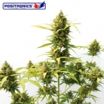Critical Express Autoflowering Feminised Seeds