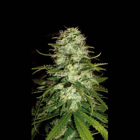 CR+ Feminised Seeds