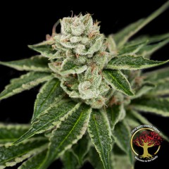 Crockett's Dawg Regular Seeds - 12