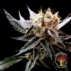 Crockett's Sour Tangie Regular Seeds - 12