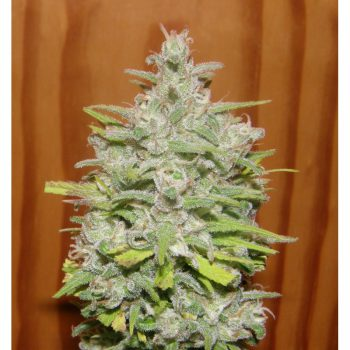 Crystal METH Feminised Seeds