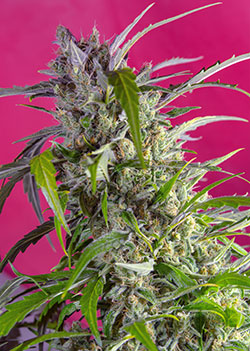 Crystal Candy Auto Feminised Seeds