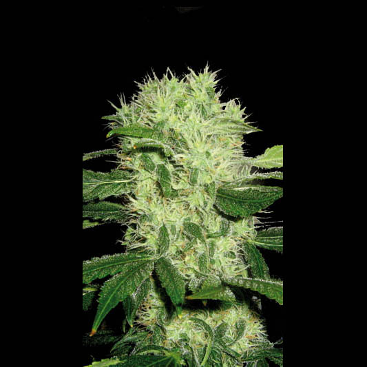 Dama Blanca Feminised Seeds